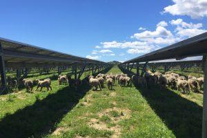 General-du-solaire-EcoPaturage-PODIOALTO--moutons
